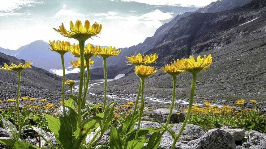 What are the healing properties of Arnica?