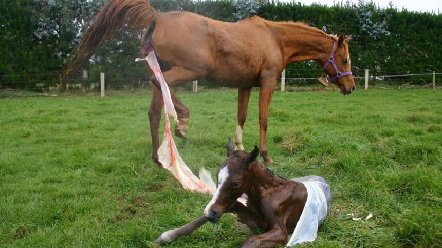 Retention of placenta in mares