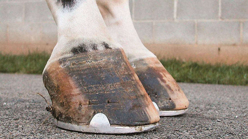 Learn how to improve your animal's hoof with live yeasts.
