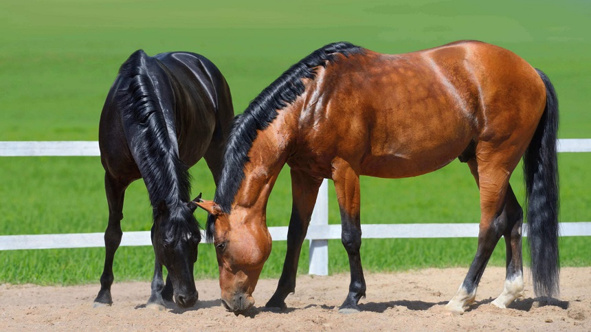 Use of fat in the diet of horses mainly for high performance animals